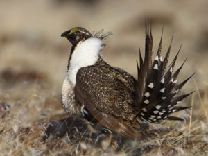 Close up image of a Sage Grouse