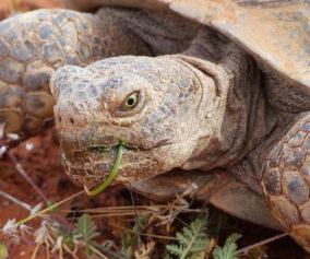 A desert tortoise munches on desert foliage