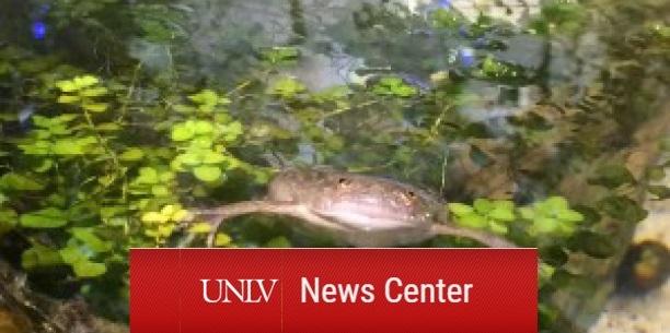 UNLV News Center: A frog floats amidst vegetation in a tank.